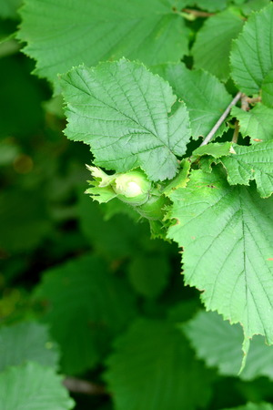 hazel branches: Unripe green hazelnuts on a branch. Cultivation of hazelnuts in a garden outdoors. Eco green background