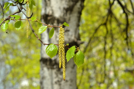 birchen: Branch of a blooming birch tree with new leaves in the spring. Selective focus Stock Photo