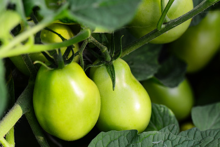 Green tomatoes in a vegetable garden. Farming. Vegetable garden background. Closeup