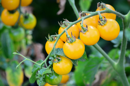 Cherry tomatoes. Sprig with cherry tomatoes. Cherry tomatoes growing in the garden. Nature background