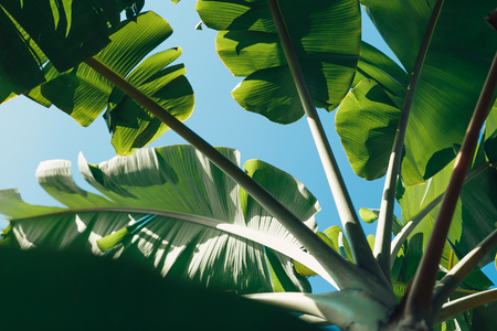 palm leaves close up. Tropical abstract background