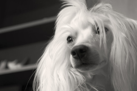 Chinese Crested Dog with hair, 5 years old.