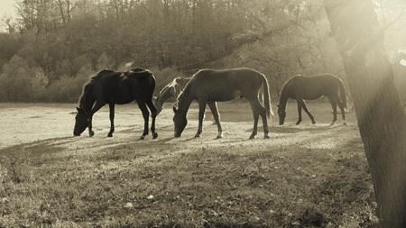 Horses grazing in a meadow at sunset. 版權商用圖片