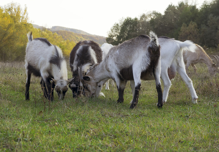 Goats are grazing in a meadow. 版權商用圖片