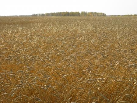 Wheat field  autumn Stock Photo - 16864766
