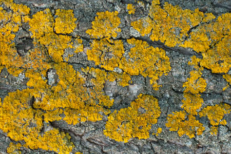 Horizontal texture of tree bark with yellow lichen. Natural background.
