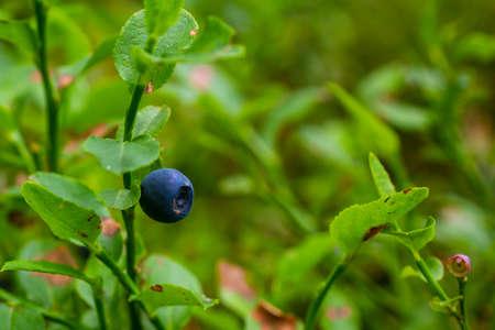 Blueberry close-up. Macro photo of wild berries.