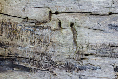 Wood texture without bark. Traces of bark beetles on wood.