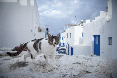 mykonos: Cat of Mykonos, Greece