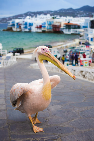 Petros the Pelican of Mykonos with Little Venice, Greece 版權商用圖片