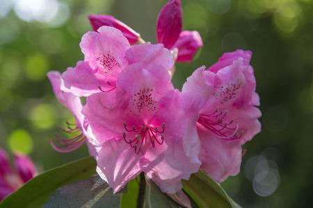 Purple Rhododendron close-up 版權商用圖片