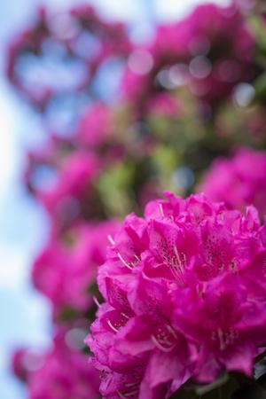 Purple Rhododendrons close-up 版權商用圖片
