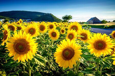 Sonnenblume unter dem Schloss Hainburg, Österreich