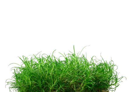 puerile: Some young little grass on the white background