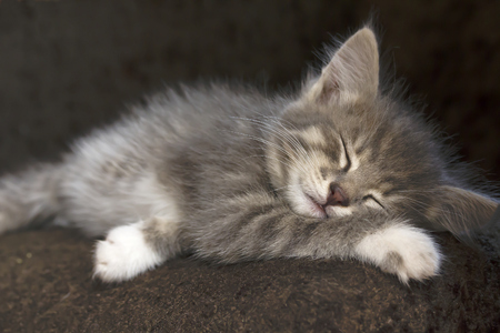 sweetly: Grey kitten with white paws sleeping sweetly in his chair.