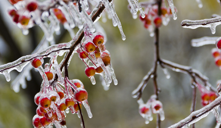 Small apples, covered in ice, icicles after the freezing rain.