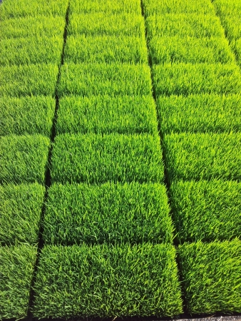 grid: Cultivated paddy sprouts