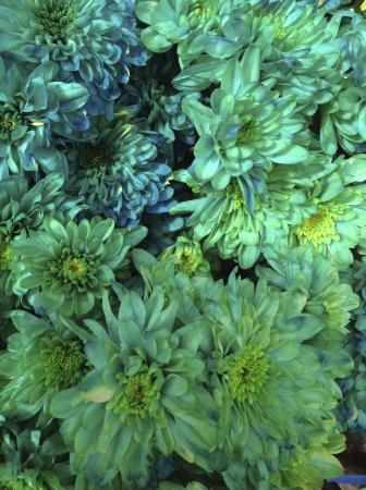 dyed: Dyed chrysantemums