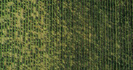 Aerial view flying above rural ripe green vineyard. Overhead, birds eye establisher. .Italian trip in Umbria.4k drone