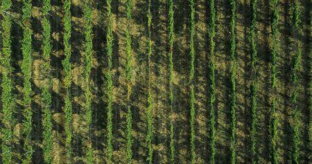 Aerial view flying above rural ripe green vineyard. Overhead, birds eye establisher. .Italian trip in Umbria.