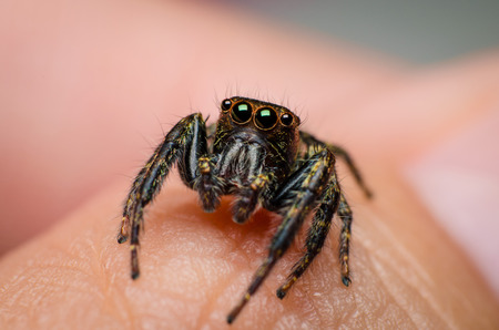 jumping spider: Jumping spider on hand in closeup shot
