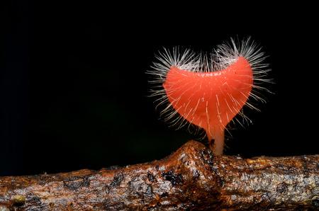 rosea: Tarzetta Rosea Mushroom (Pink Burn Cup) Heart