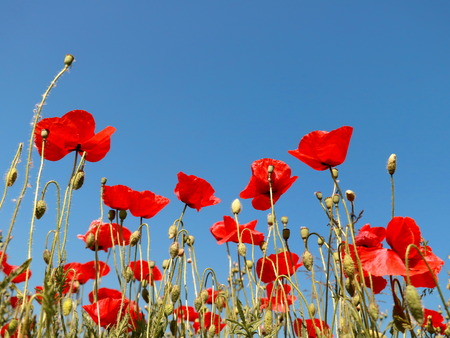 Red poppies on blue background of clear sky Banco de Imagens - 101545984