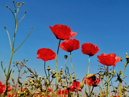 Red poppies on blue background of clear sky Archivio Fotografico