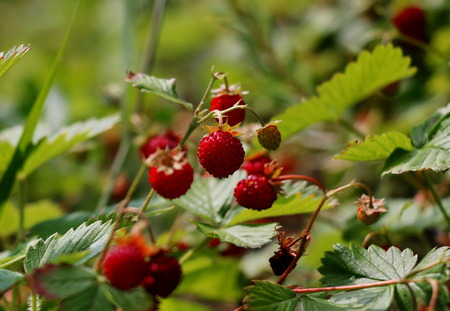 Ripe and ripening wild strawberries in the grass Stock Photo