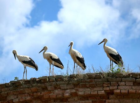 Four storks on the old wall