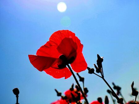 Mohnblumen auf Feld und sonnigem Tag