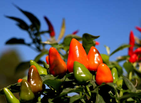 Orange fresh hot peppers in the blue sky