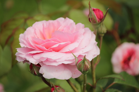 Rose type named Eeuwige Passie in clouse-Up isolated from a rosarium in Boskoop the Netherlands Stockfoto