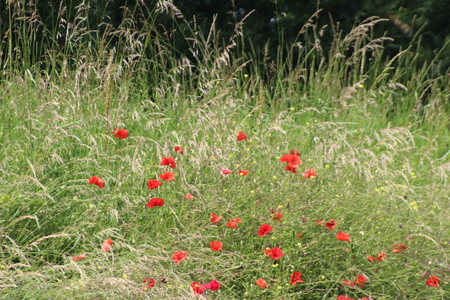 Poppies in the field with daisies and other wild flowers along roadside in the Netherlands Фото со стока