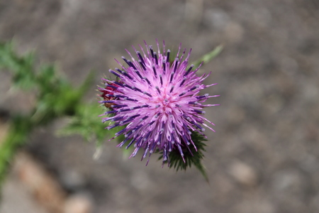 Purple flower of the thistle in close-up in a public park in the Netherlands. Фото со стока