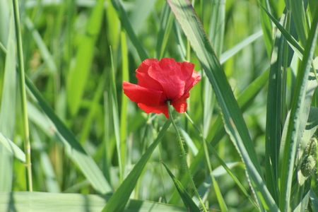 siingle flower head of a poppy in the sun along the road in the Netherlands.