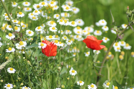 Poppies in the field with daisies and other wild flowers along roadside in the Netherlands Banco de Imagens