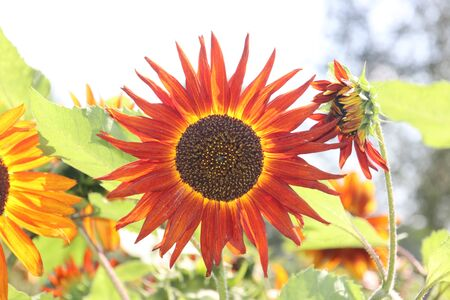 Head of the red sunflower in a garden in the Netherlands