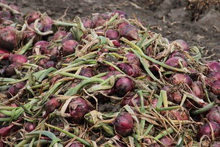 Red onions drying in the field after harvesting them in the Noordoostpolder in the Netherlands