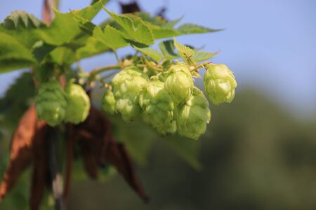 Humulus lupulus in a kitchen garden in green color in sunlight in the Netherlands Stockfoto