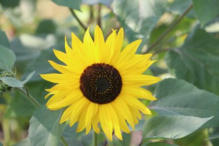 Head of the yellow sunflower in a garden in the Netherlands
