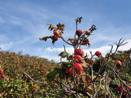 Apple Rose with red berries in the dunes of Noordwijk in the Netherlands