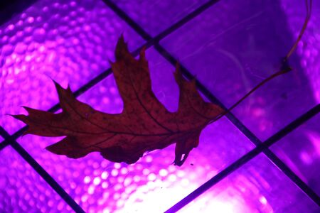 Leaf coloring purple on lights in the forest for festival