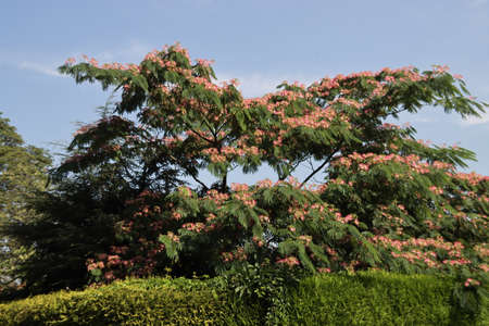 Albizia julibrissin Boubri or Ombrella tree with fluffy pink and white flowers during summer Stock Photo