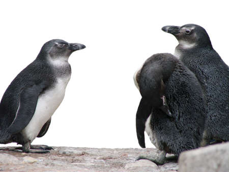 African Penguins Stock Photo - 898087