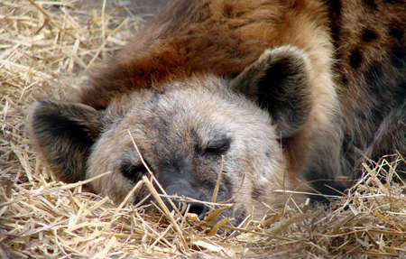 A hyena taking it easy :) Stock Photo