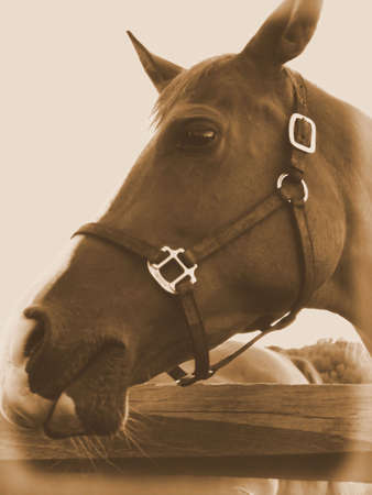 Brown horse looking you in the eye. Stock Photo - 1840805
