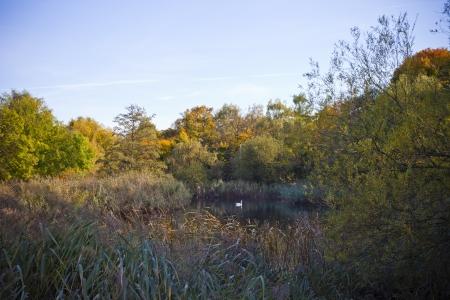 Swan swimming in lake in park in Berlin  photo