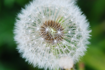 close up of a dandelion  about to loose its seeds