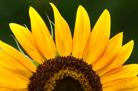 upper half: The upper half of a sunflower on a green background